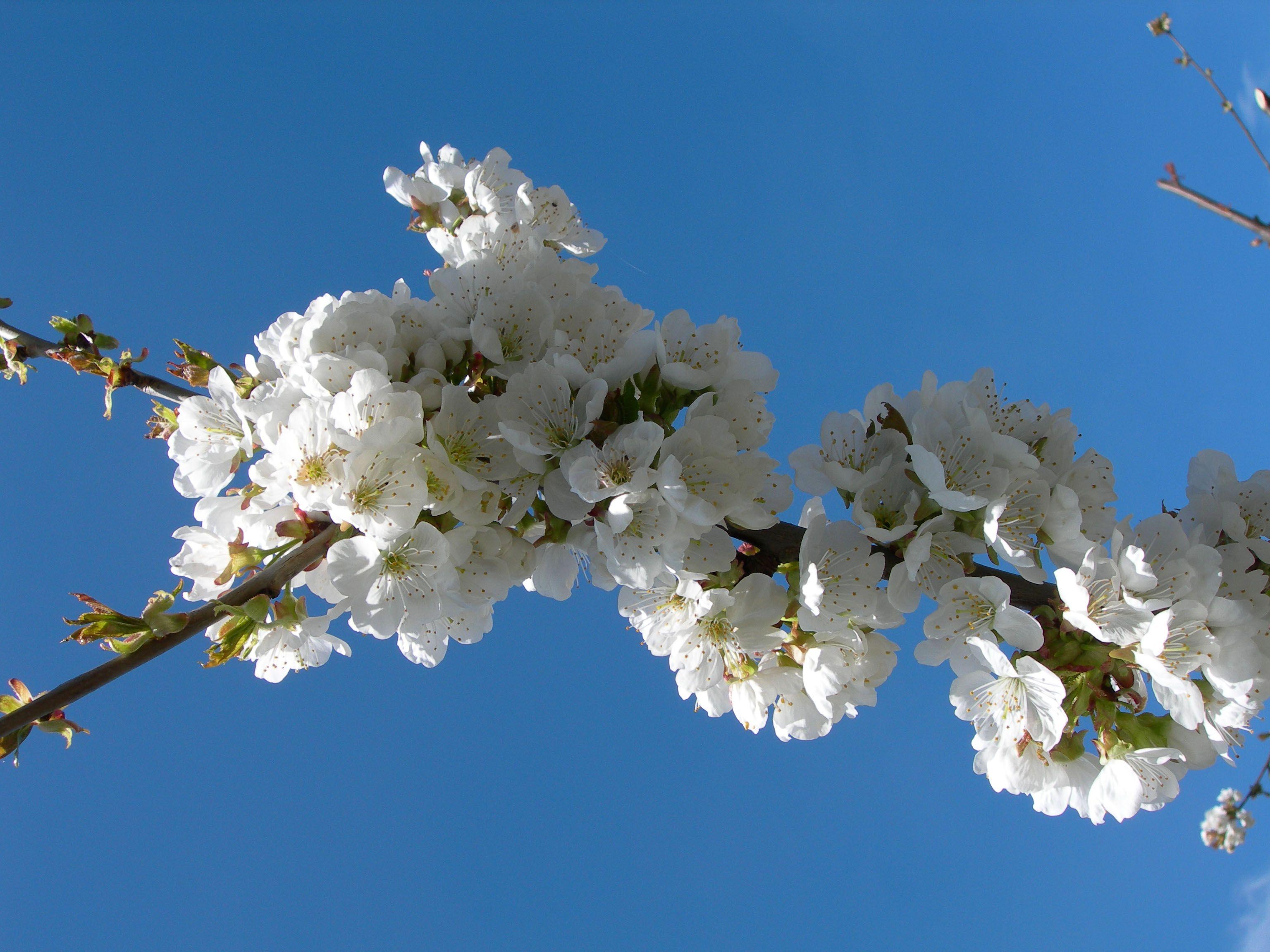 Fleurs de cerisiers près de Millau