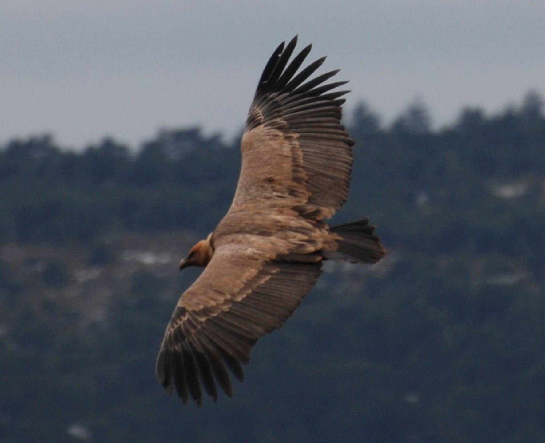 le vol du vautour dans les gorges