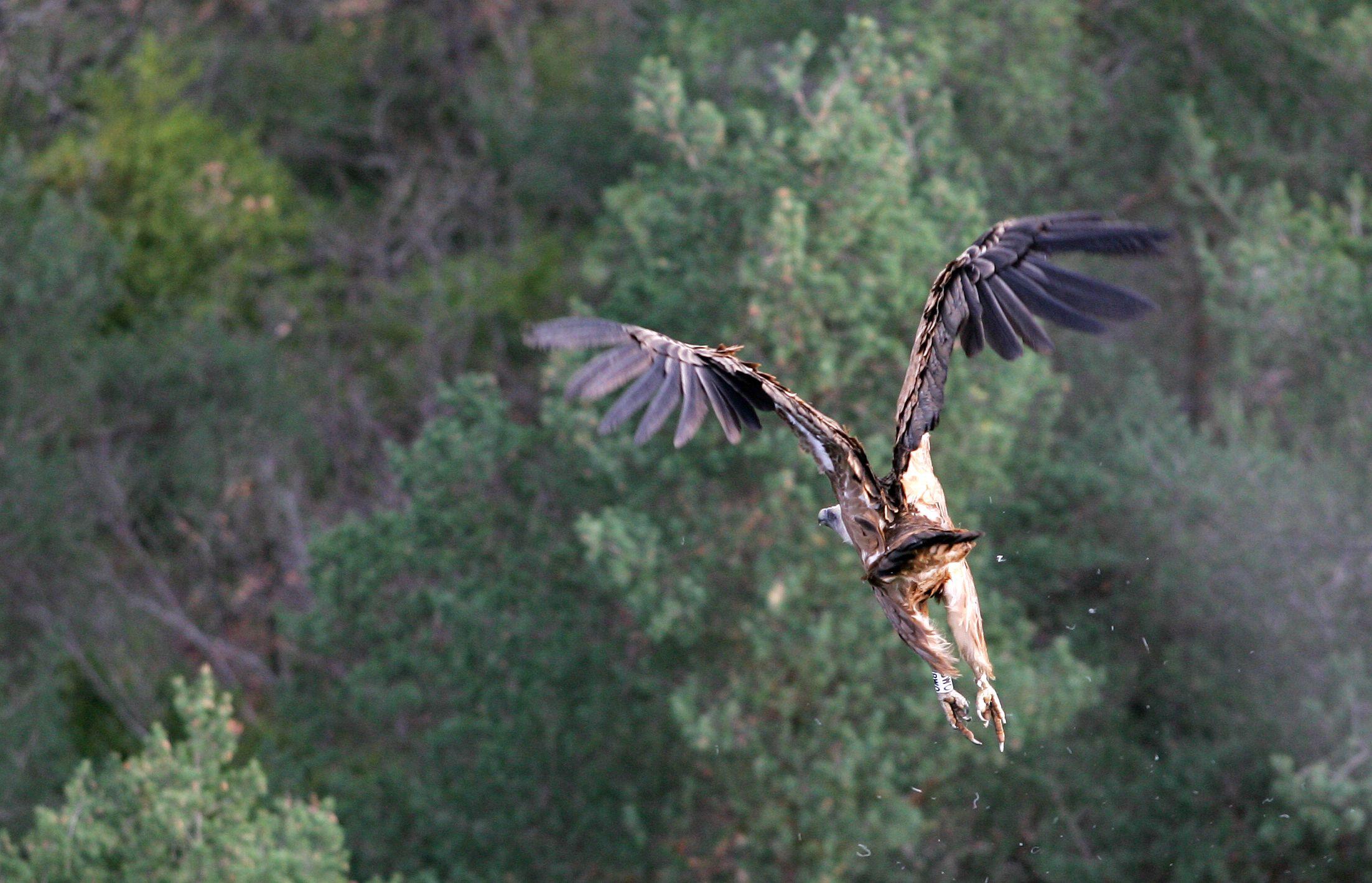 Envol du vautour