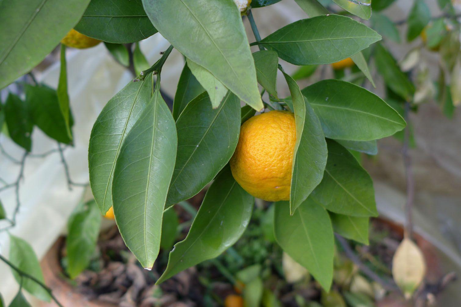 L'oranger du gîte Namasté dans les gorges du tarn
